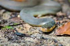 Bellied желтым цветом змейка воды Стоковые Фото