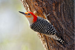 bellied красный woodpecker Стоковое Изображение RF