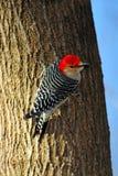 bellied красный woodpecker Стоковая Фотография