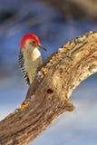 bellied красный woodpecker Стоковые Изображения RF