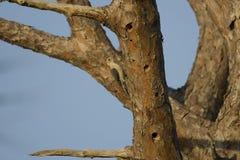 bellied красный woodpecker Стоковая Фотография RF