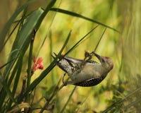 bellied красный woodpecker стоковое фото rf
