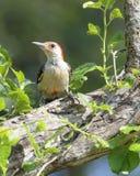 bellied красный woodpecker Стоковые Фото