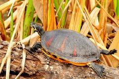 bellied черепаха красного цвета florida cooter стоковое изображение