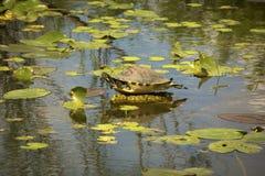 Bellied cooter żółw w Floryda ` s błot parku narodowym Zdjęcie Royalty Free