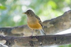 Bellied drozd, ptasi symbol Brazylia Zdjęcia Stock