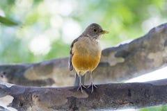 Bellied drozd, ptasi symbol Brazylia Obraz Royalty Free