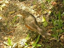 Bellied drozda ptak w ogródzie zdjęcia stock