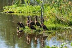 Bellied kaczki Zdjęcie Royalty Free