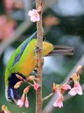 Bellied Leafbird jest w pełnym kwiacie w Hangzhou Obraz Royalty Free