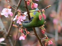 Bellied Leafbird jest w pełnym kwiacie w Hangzhou Fotografia Stock
