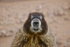 Bellied Marmot Royalty Free Stock Photo