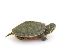 bellied północny czerwony żółw fotografia stock