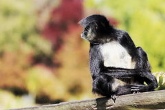 Bellied pająk małpy Ateles belzebuth Fotografia Stock