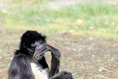 Bellied pająk małpy Ateles belzebuth Obrazy Royalty Free