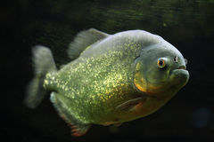 Bellied piranha Pygocentrus nattereri fotografia royalty free