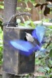 Bellied rolownik (Coracias cyanogaster) Fotografia Royalty Free