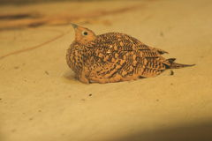 bellied sandgrouse каштана Стоковое фото RF