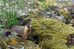 Bellied ?wistaka Marmota flaviventris, tak?e zna? Rzucaj?, patrzej?cy z wej?cia sw?j nora gdy Rockowy obraz royalty free