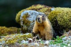 Bellied ?wistaka Marmota flaviventris, tak?e zna? Rzucaj?, patrzej?cy z wej?cia sw?j nora gdy Rockowy fotografia stock