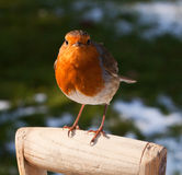 Belligerent Robin perched on Spade Handle in Snow. Close up of red breasted Robin perched on spade handle in wintry scene looking straight at the camera in an Stock Photo