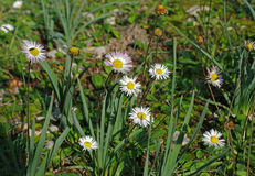 This is Bellis annua, the Annual daisy, family Asteraceae. This wild mediterranean plant is flowering in autumn Stock Photo