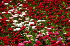 Bellis Belle Daisy Bedding Plant Fotografering för Bildbyråer