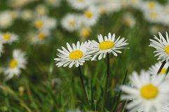 Bellis berennis Royalty Free Stock Photography