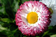 Bellis blooming. Macro of rich bellis bloom Stock Photo