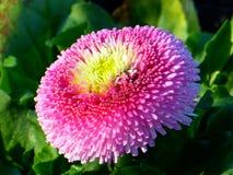 Bellis, Flower, Blossom, Bloom Royalty Free Stock Photos