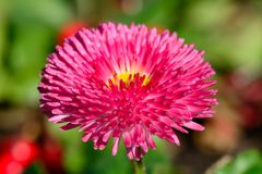 Bellis flower. Close up of a single bellis flower Stock Photography