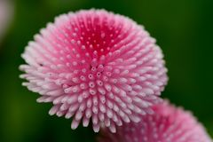 Bellis flower. Close up of a single bellis flower Royalty Free Stock Photography