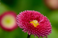 Bellis flower. Close up of a single bellis flower Royalty Free Stock Image