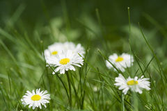 Bellis flower (English Daisy, Bellis perennis) Stock Photo