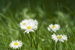 Bellis flower (English Daisy, Bellis perennis). On the green lawn Stock Photo