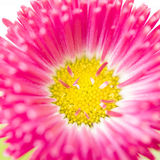 Bellis flower Stock Photography