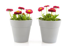 Bellis flowers. Bellis garden flowers in gray pots isolated over white Royalty Free Stock Images