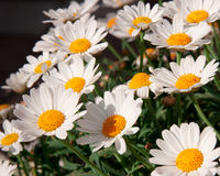 Bellis flowers. Many Bellis flowers growing in the garden Stock Images