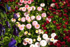 Bellis flowers (Bellis perennis annua) Royalty Free Stock Images