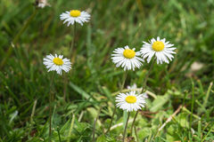 Bellis flowers in a lawn. Photo of bellis flowers in a lawn seen obliquely from above Royalty Free Stock Images