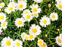 Bellis Stock Photography