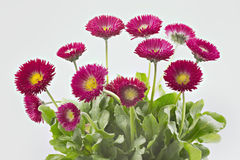 Bellis flowers Stock Photos