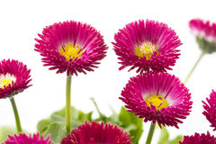 Bellis flowers. On white background Royalty Free Stock Photography