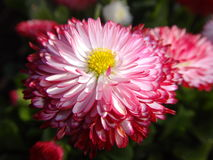 Bellis Habanera Stock Photos