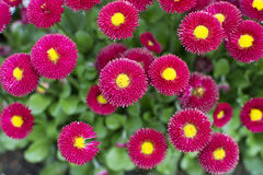 Bellis Papathy Stockfotografie