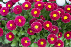 Bellis Papathy Stockbild