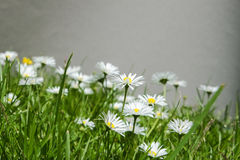 Bellis pelanis. Group of bellis perennis on a lawn Stock Photography