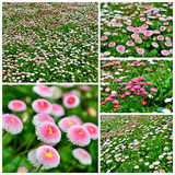 Bellis perennis Royalty Free Stock Photography