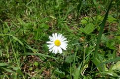 Bellis Perennis. Beautiful English Daisy, Bellis perennis Stock Image