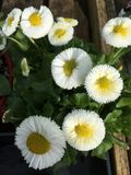 Bellis Perennis. A cluster of pretty Bellis Perennis flowers in a pot in the patio Stock Photography